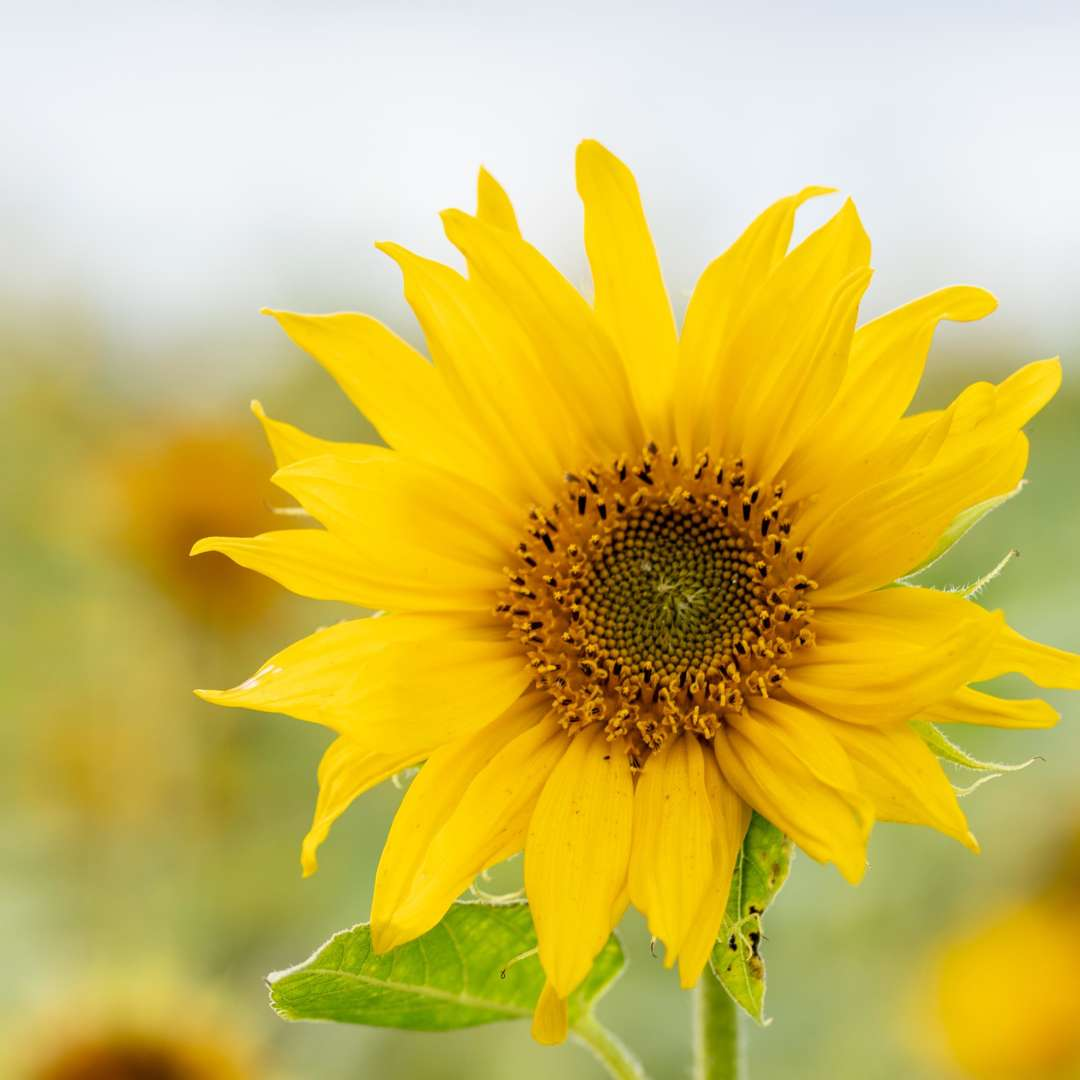Auringonkukka kukkii. Kukka on keltainen.