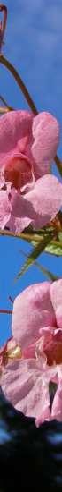 Jättipalsami kukkii. Jättipalsamissa on punaiset kukat ja vihreät lehdet. Torjuttava vieraslaji.