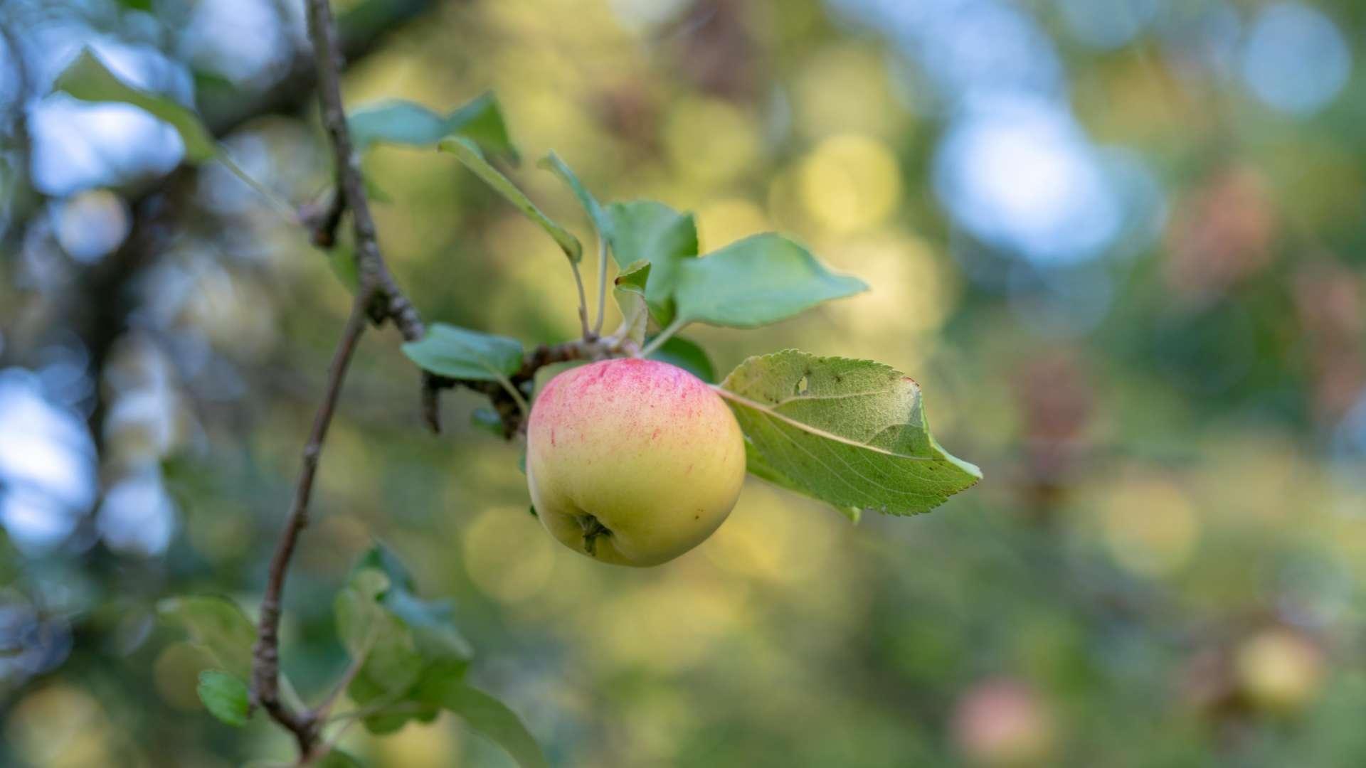 Omenapuussa kotimaisen omenapuun oksalla on yksi omena. Oksassa on myös omenapuun lehtiä. Alkusyksyn ilma.