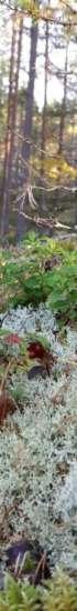 Syksyinen kuva metsästä. Kuvassa näkyy etualalla jäkäliä, puolukoita, puolukanvarpuja ja taaempana mäntyjä.