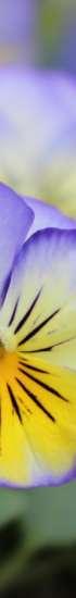 Orvokki kukkii. Kukka on ylhäältä violetti ja alhaalta keltainen.