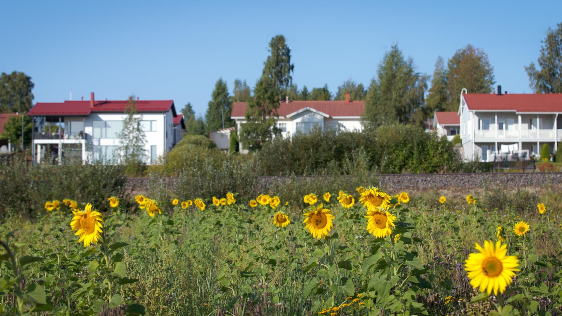 Punakattoisia omakotitaloja ja auringonkukkia Kössinpellolla.