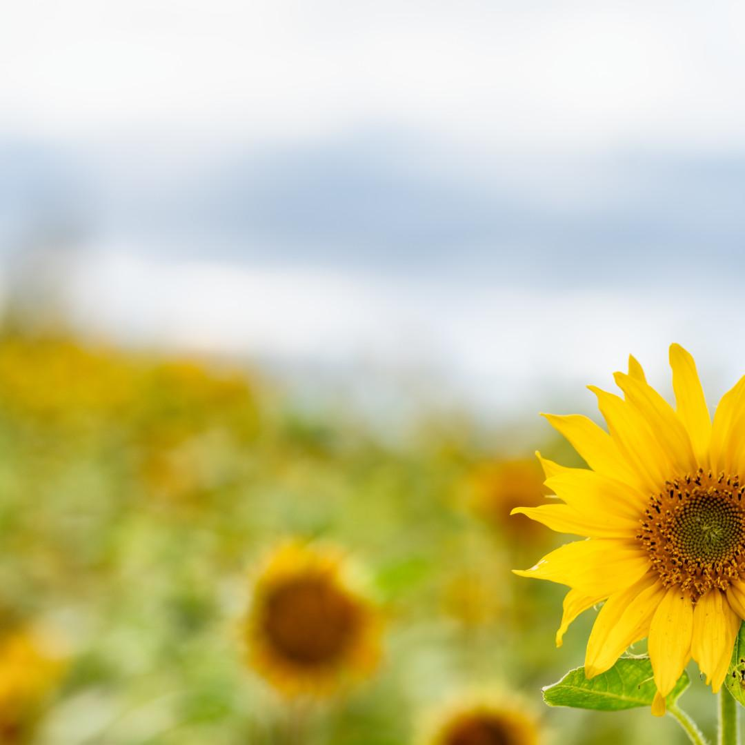 Auringonkukkia.