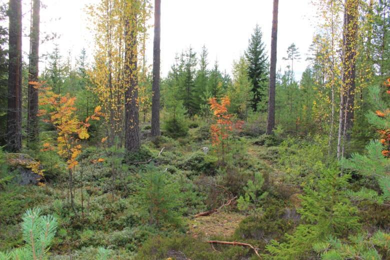 Metsämaisemaa Maijan tontin tulevalla takapihalla.