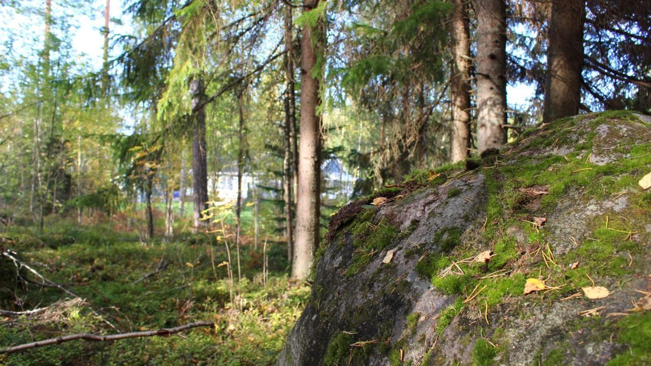 Puustoa ja kiviä omakotitontilla.