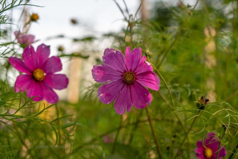 Kukkia puutarhassa.