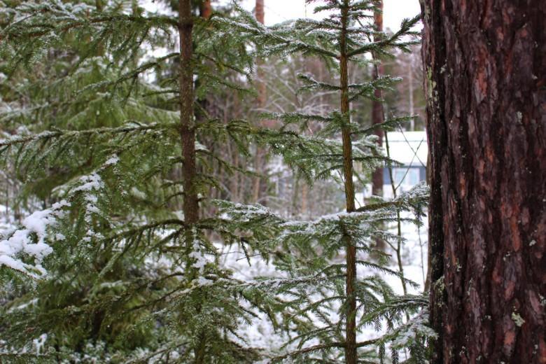 Talvista puustoa Maijan tontilla.