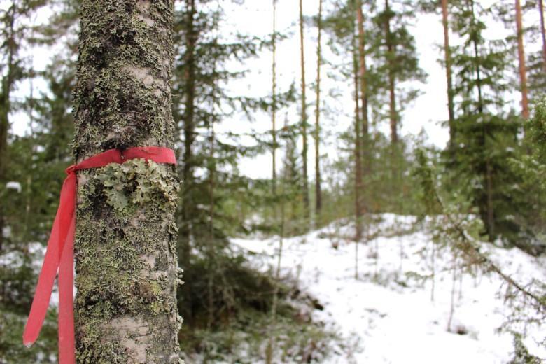 Punaisella nauhalla merkitty rajapyykki Maijan tontilla.