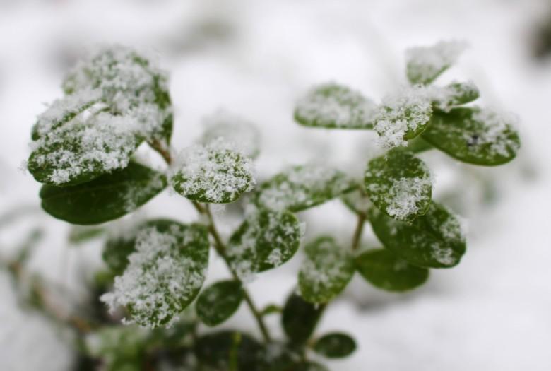 Lumisia puolukanvarpuja Maijan tontilla.